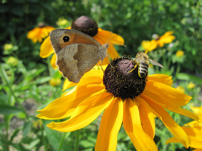 sunflower-bee-moth