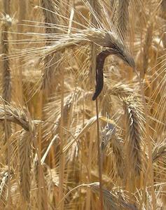 Claviceps purpurea on Rye