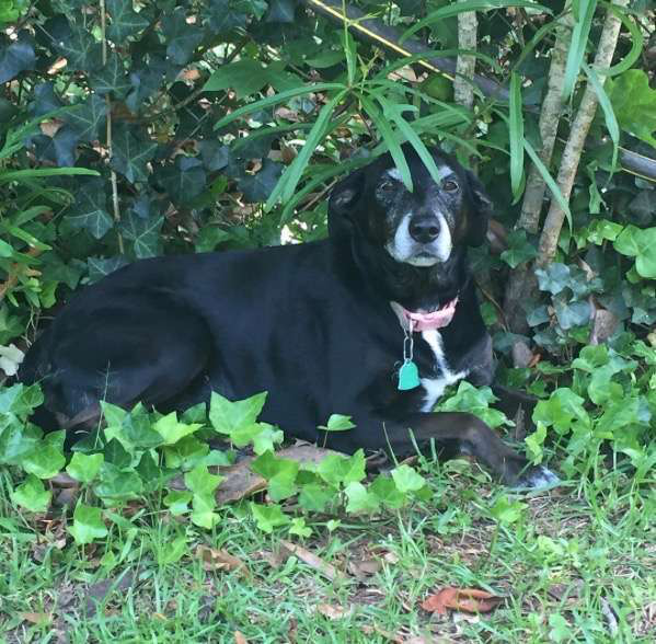 sweet dog lying in the shade of the yard