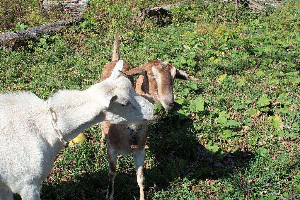 goatscaping