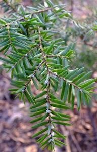 green hemlock branch with bugs