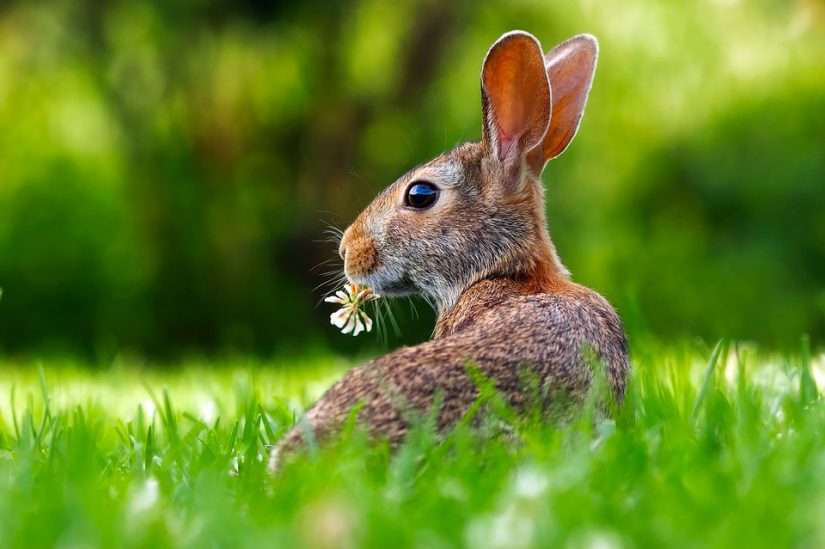 rabbit in the grass eating weeds