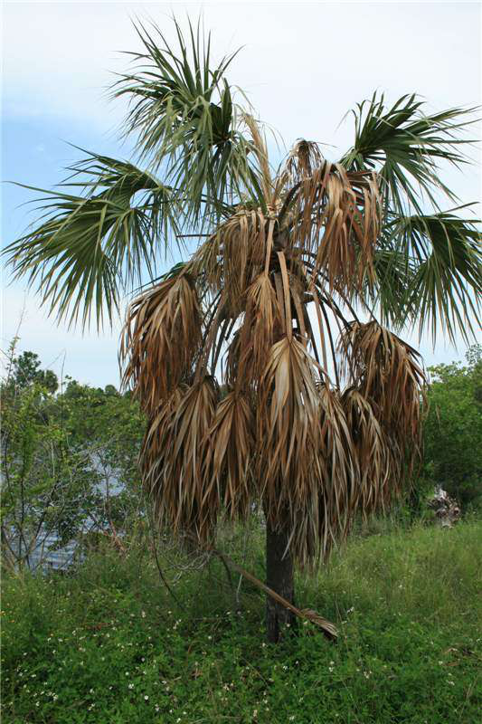 dying cabbage palm