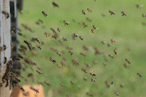 bees-flying