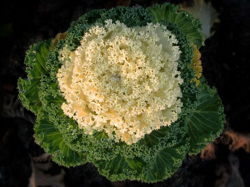 large brassica vegetable