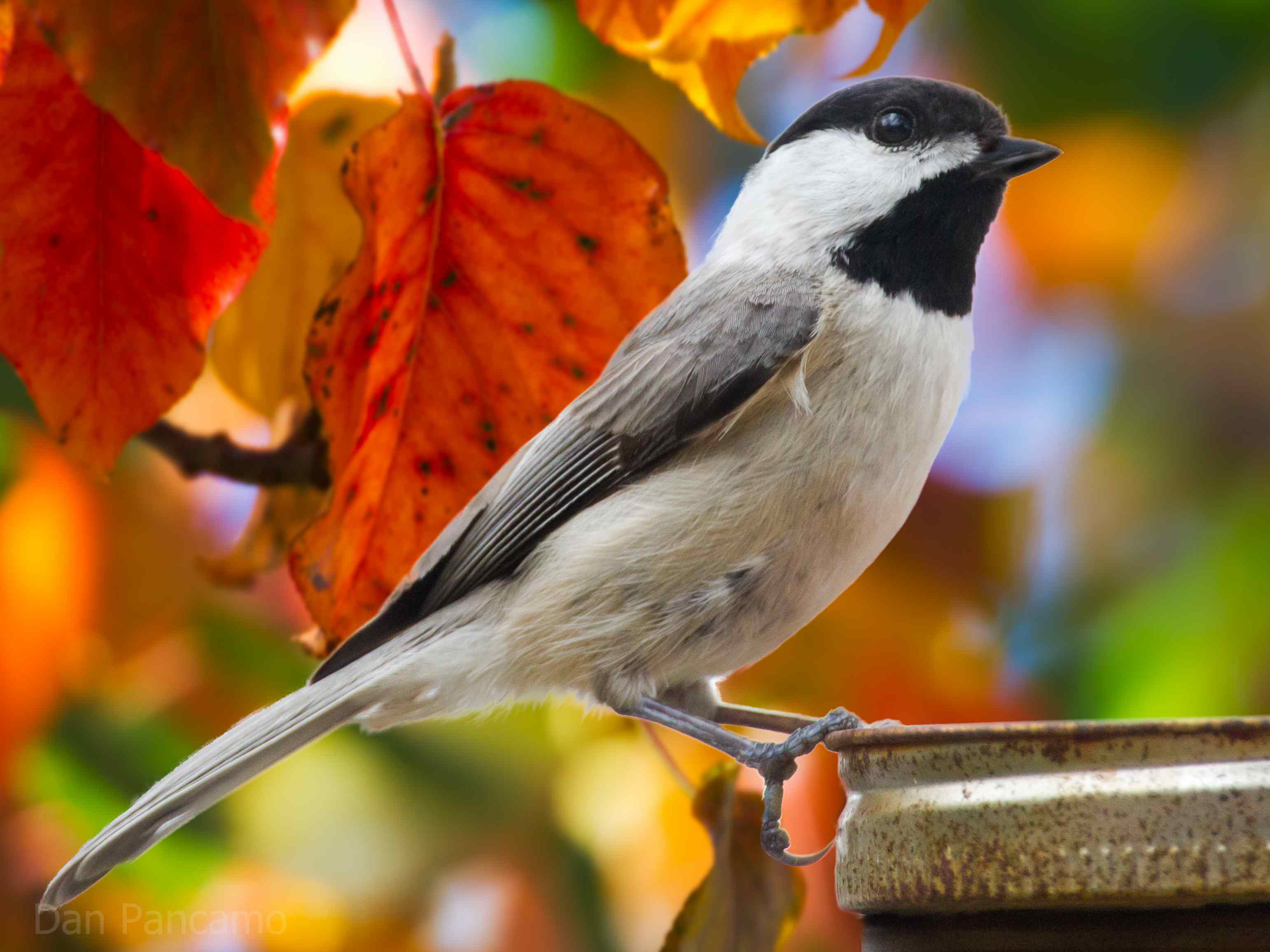 carolina chickadee in the fall