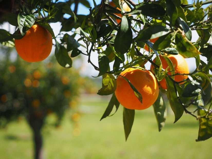 close up view of orange in an orange grove