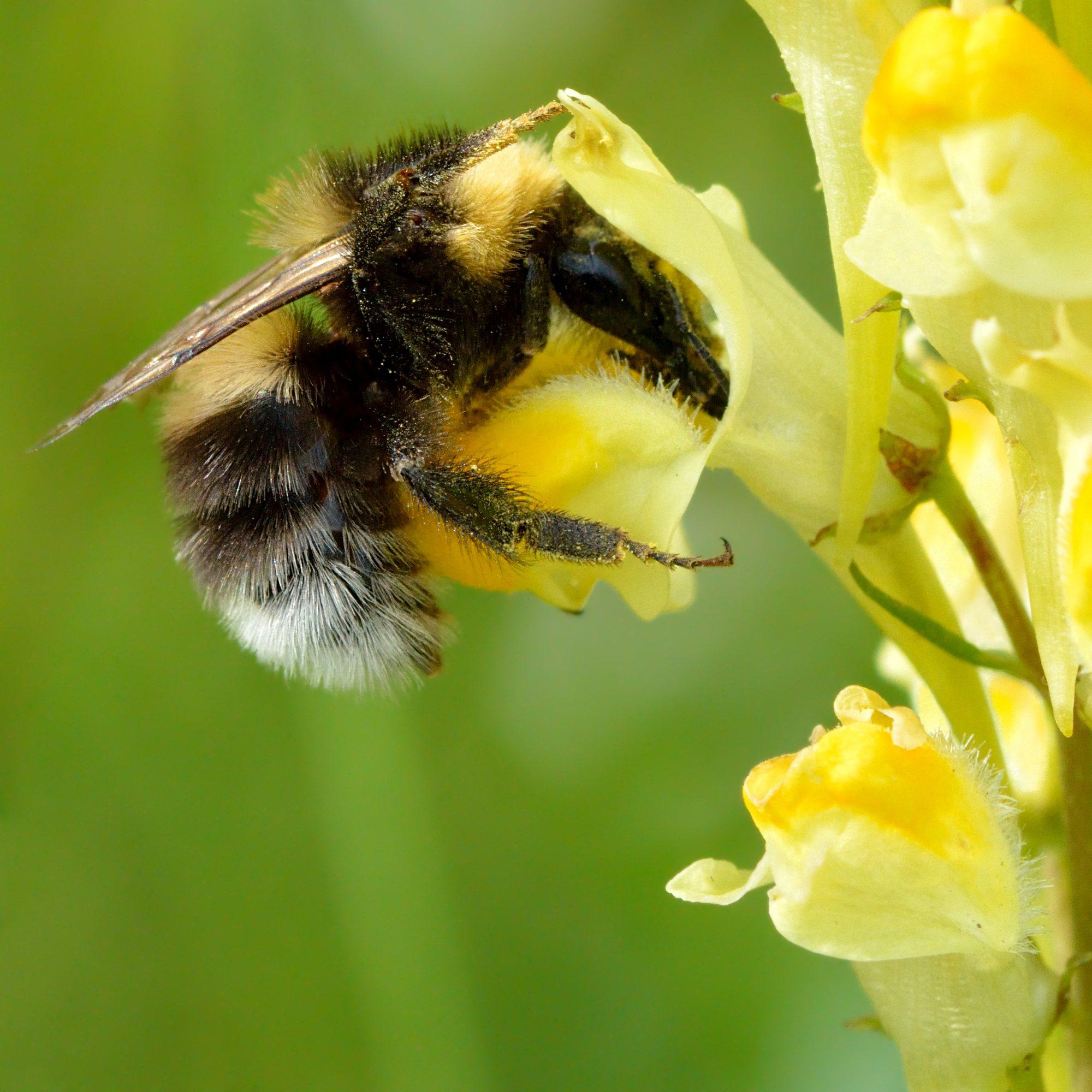 long-tongued bumblebee