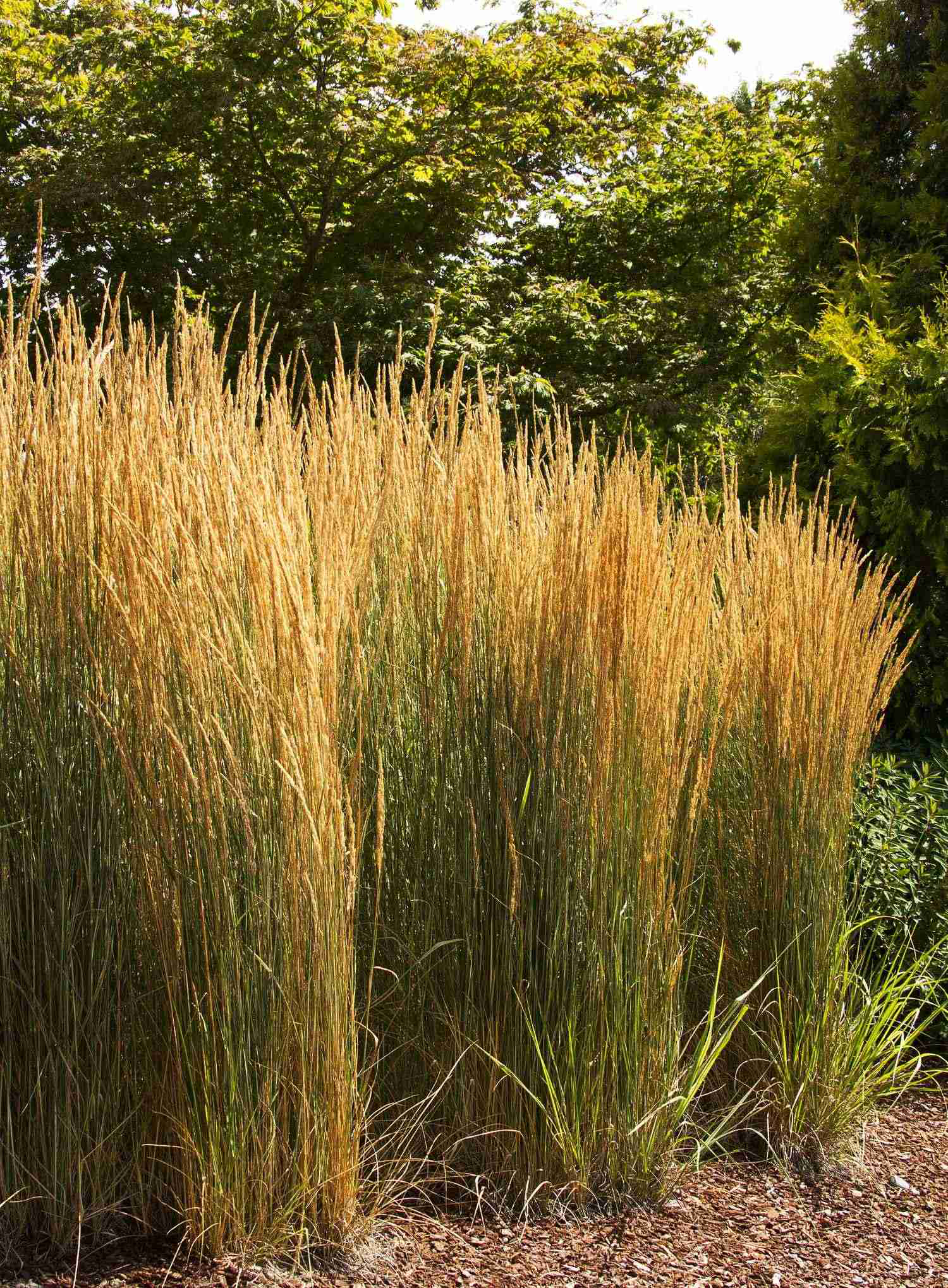 Ornamental grasses give a lively look to fall landscapes for Decorative tall grass plants