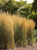 overdam feather reed grass