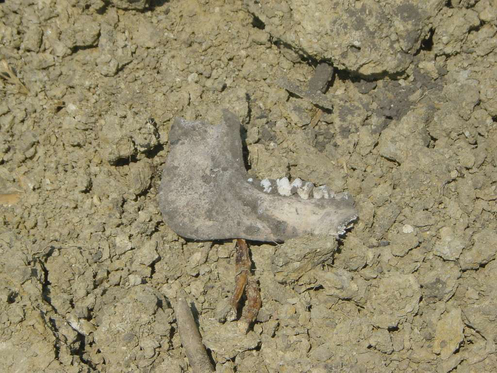 jawbone fossil