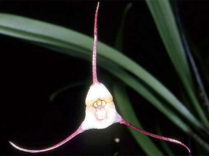 dracula orchid