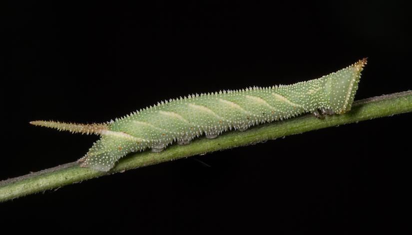 North American walnut sphinx caterpillar