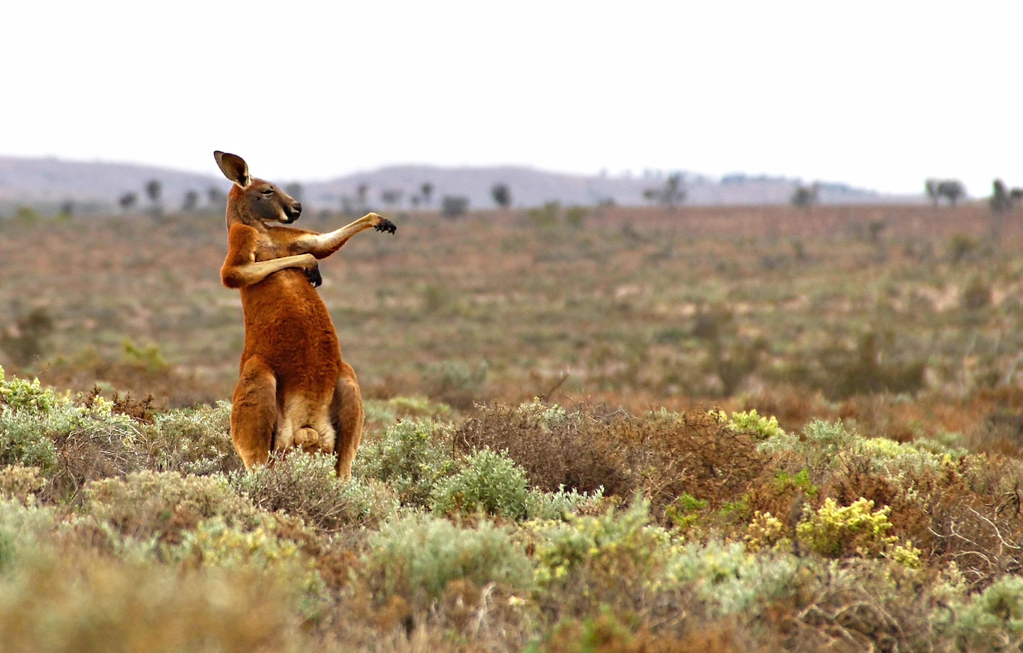 dancing kangaroo