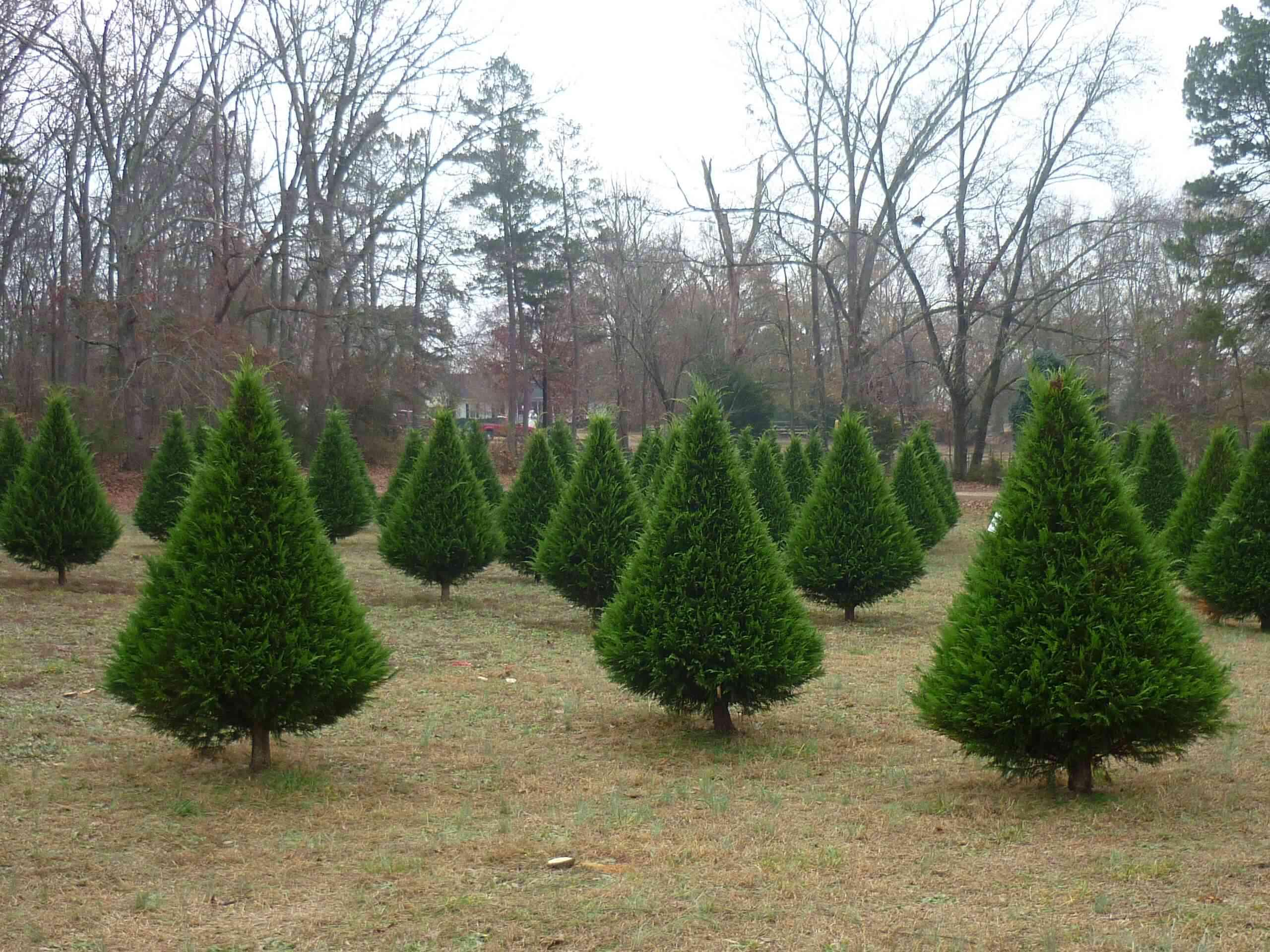 small christmas trees - Christmas Tree Farm Colorado