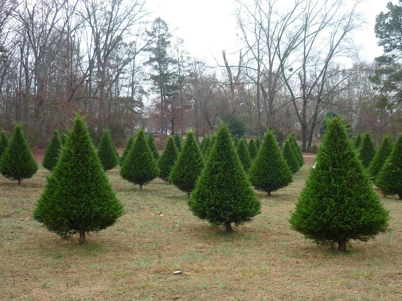 national christmas tree association - National Christmas Tree Association