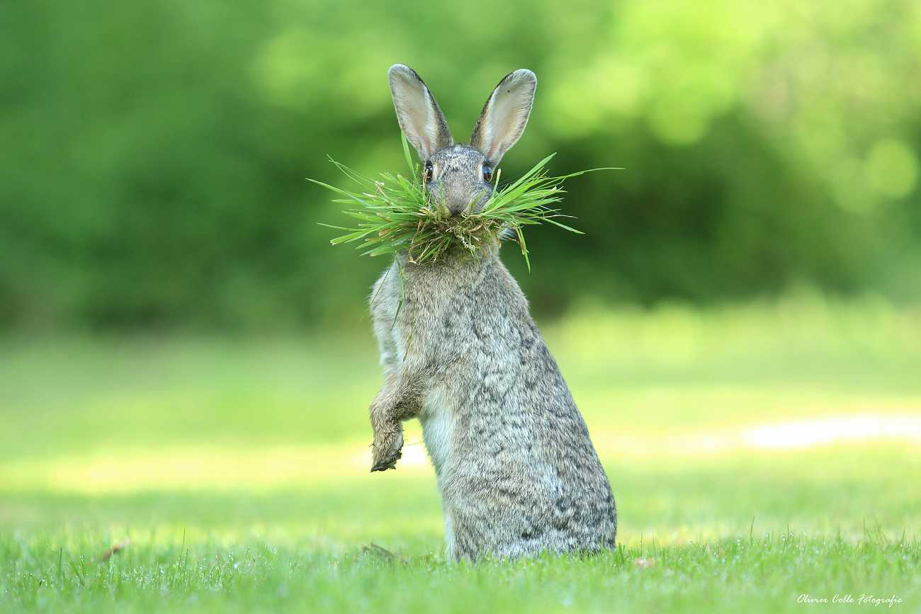 rabbit with a mouth full of greens