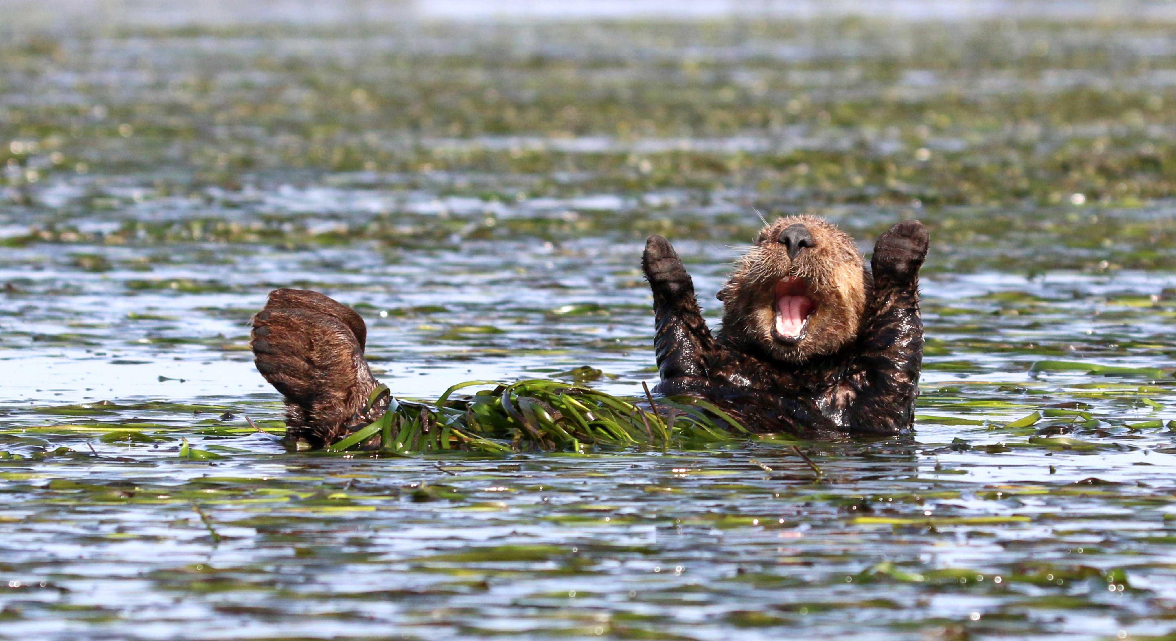 beaver enjoying a swim