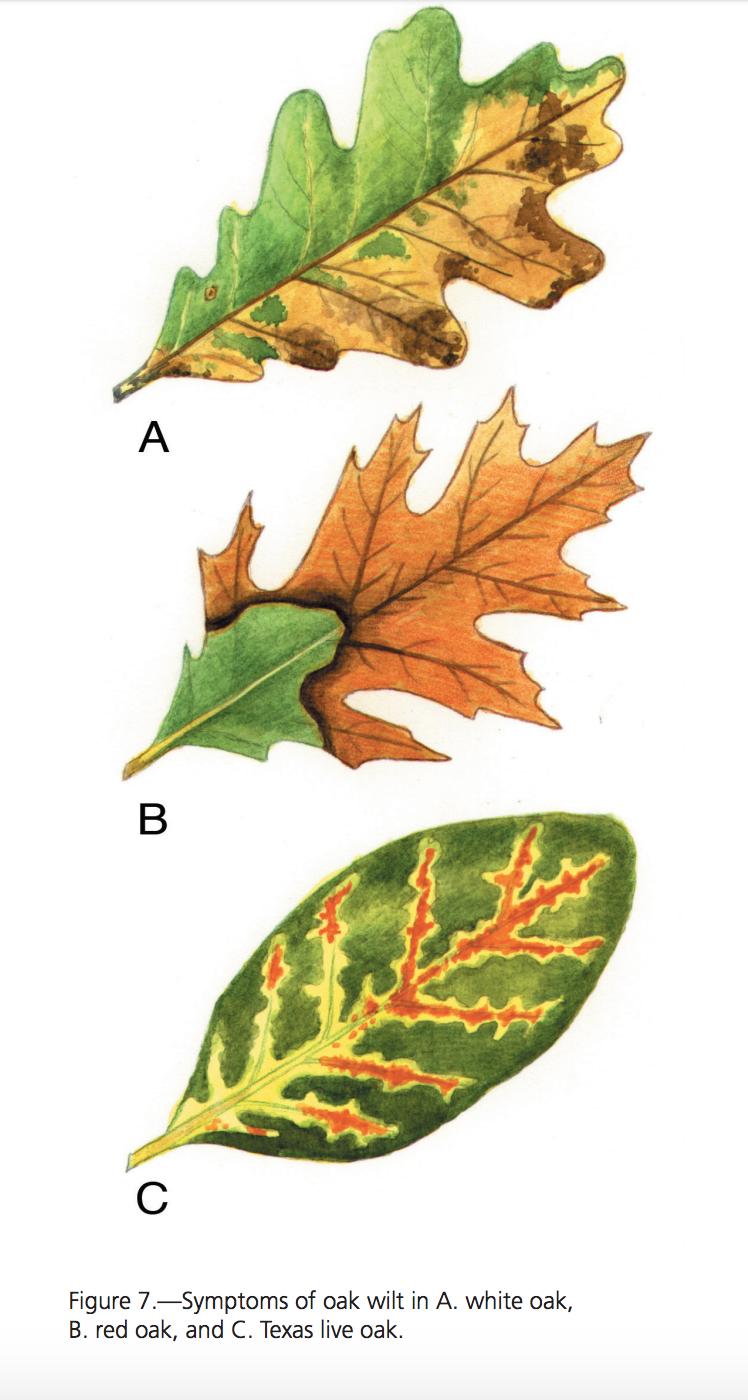 oak wilt early detection method developed by researchers