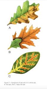different types of oak wilt
