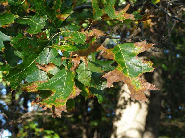 oak wil symptom of browning leaves