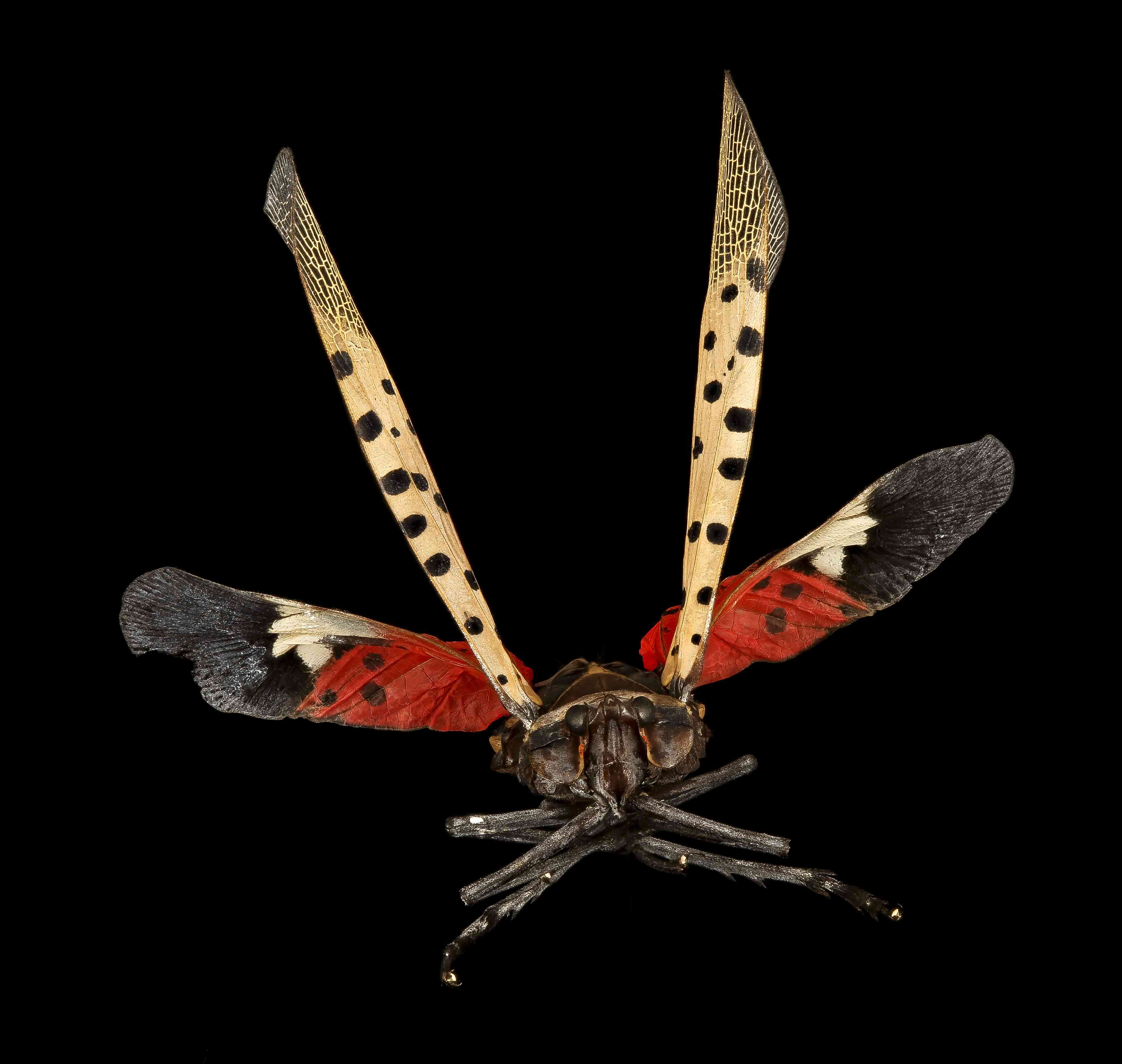 closeup photo of the lanternfly