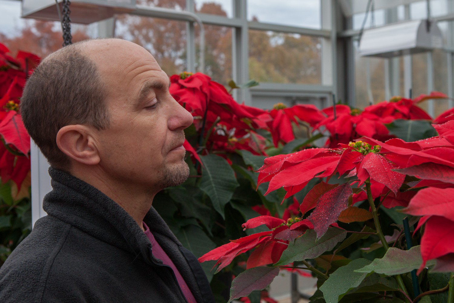 man looking after poinsettas