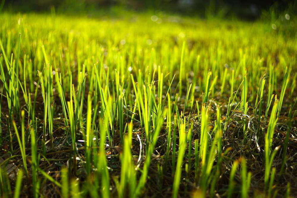 Transition overseeded lawns back to warm-season grass