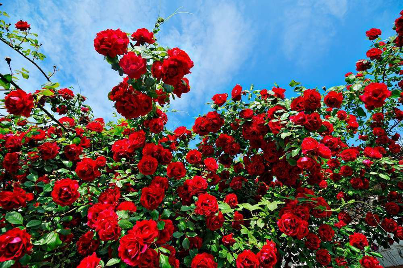 Knowing The Best Time To Plant Roses