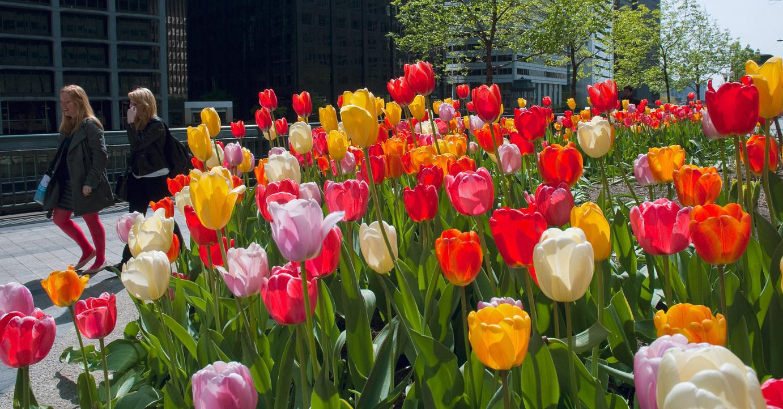 Tulip Darwin Hybrid Blend Big Ups