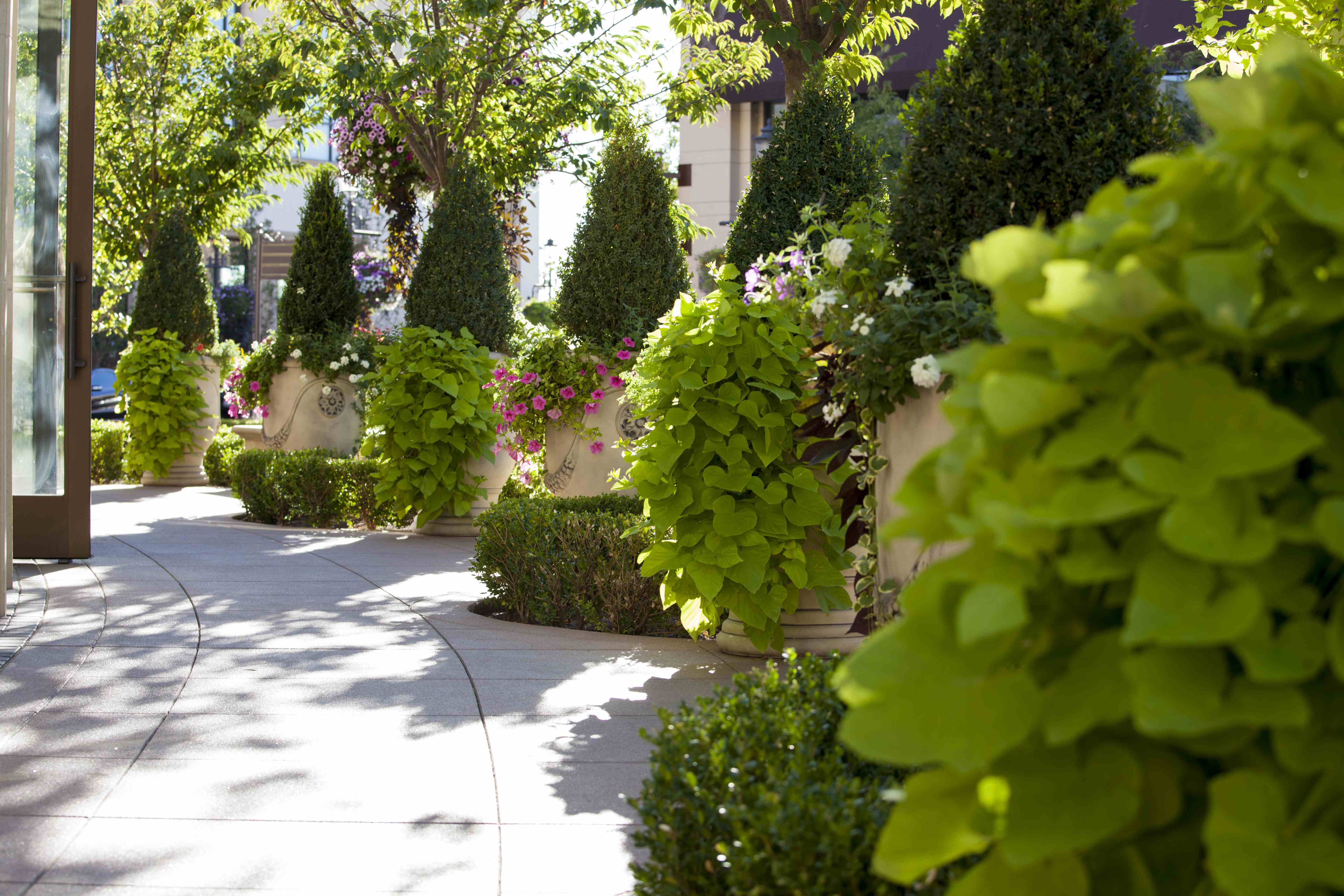 well designed sidewalk aligned with small green trees in terra-cotta pots and trees and sunshine