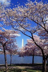 Photo of Cherry Blossoms across the bay from the Washington Monument