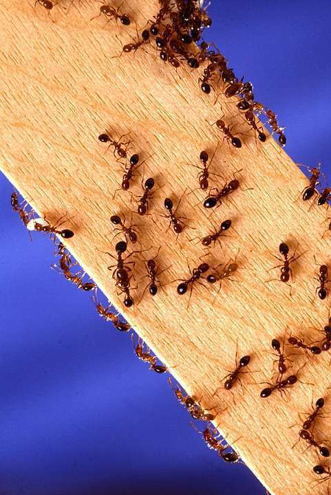 Fire ants crawling on a wooden stick