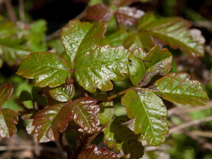 Close up photo of poison oak leafs