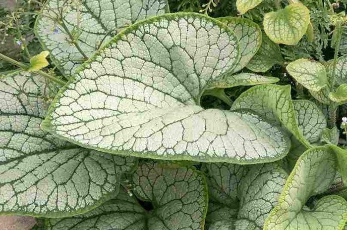 Silver-Heart-Brunnera-crop