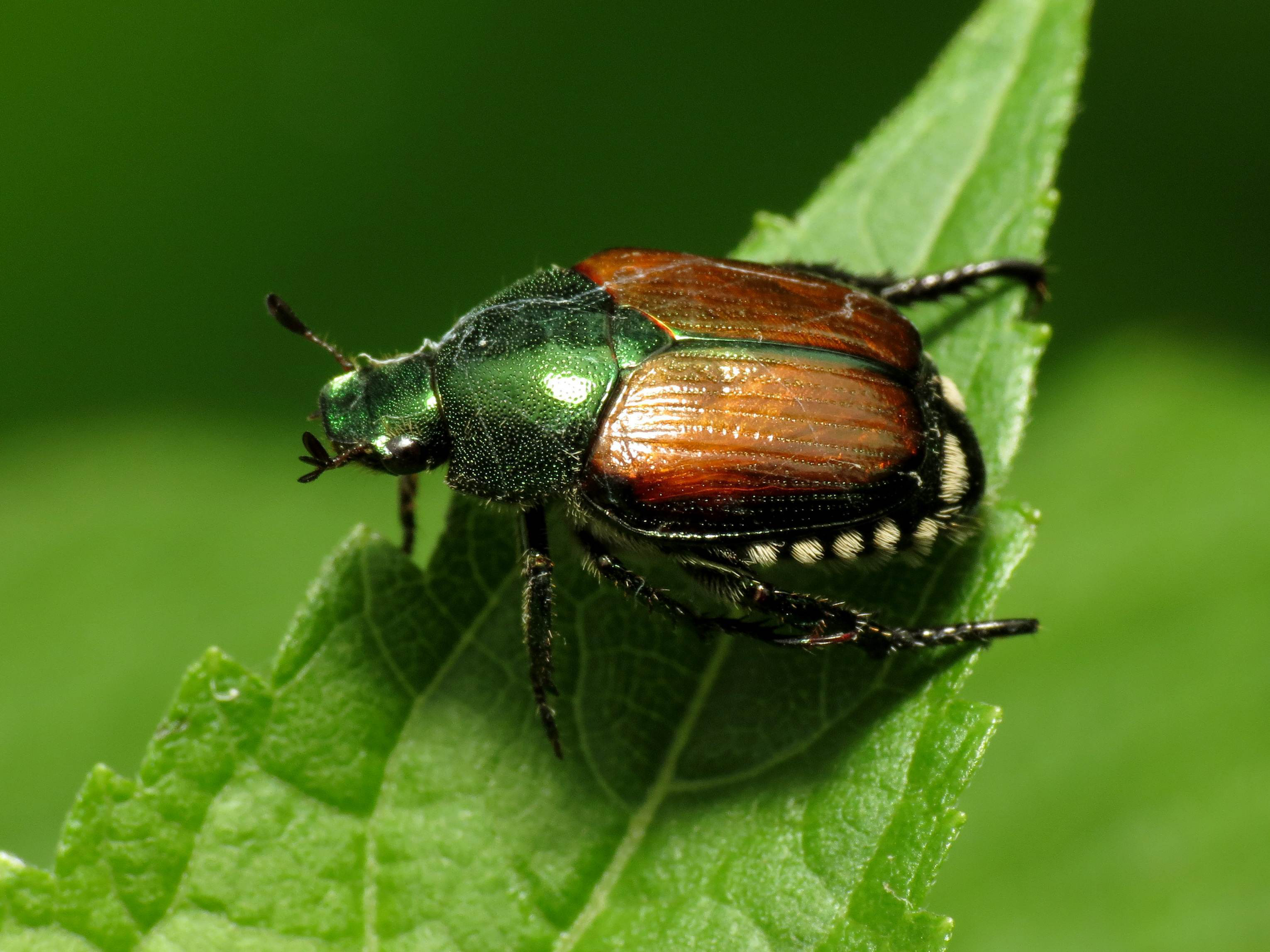 Stopping Anese Beetles From Destroying Landscaped Yards