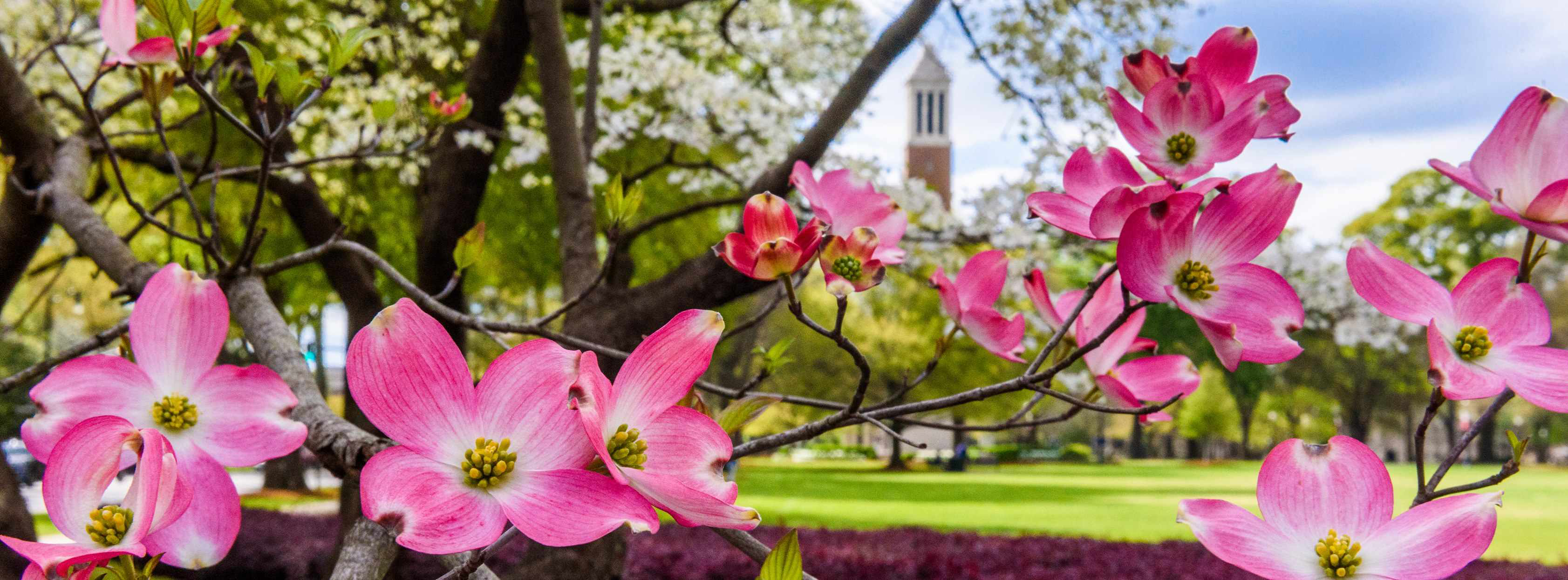 Pink dogwood tree blossoms on the University of Alabama campus