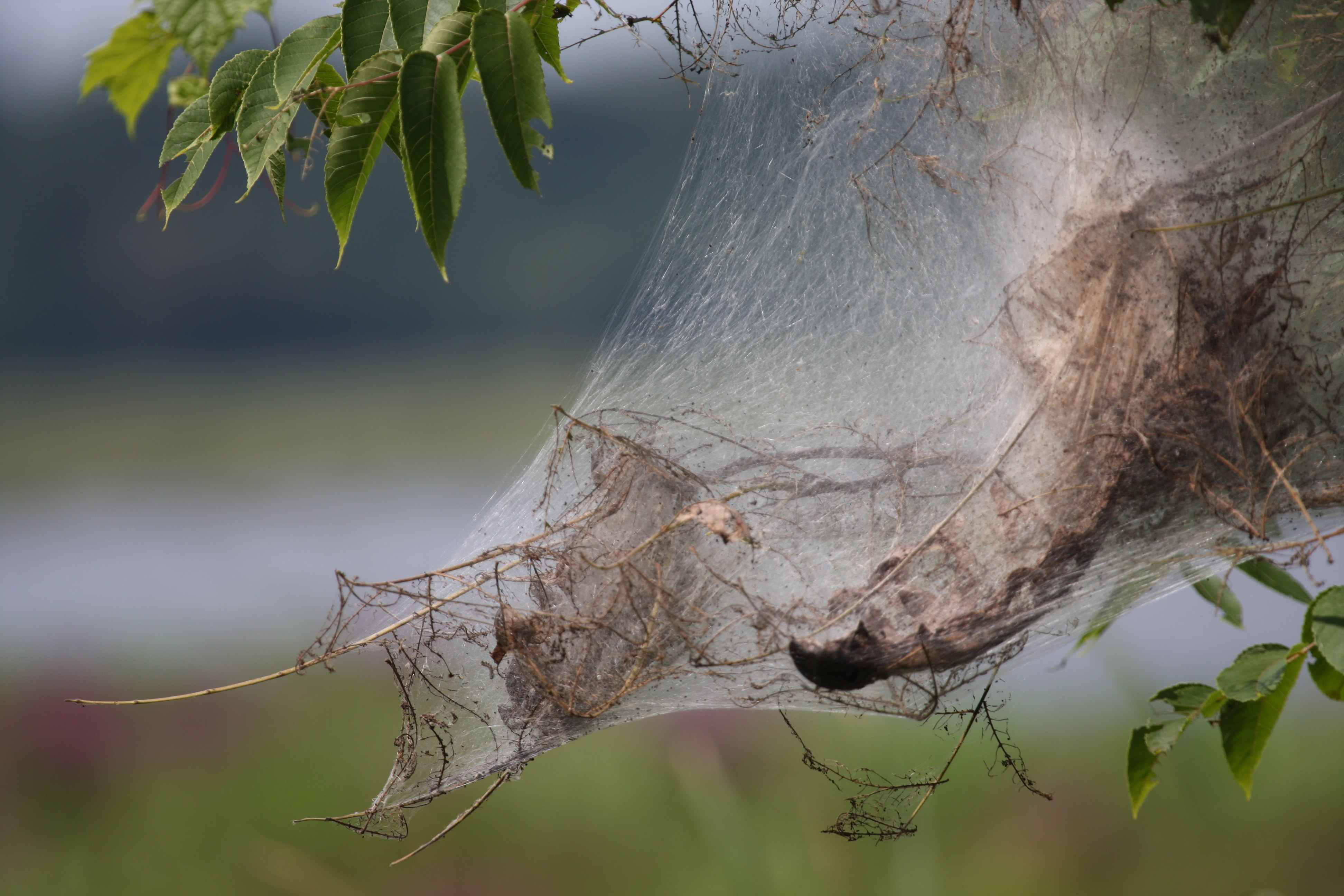 Bagworms versus webworms  What's the difference?