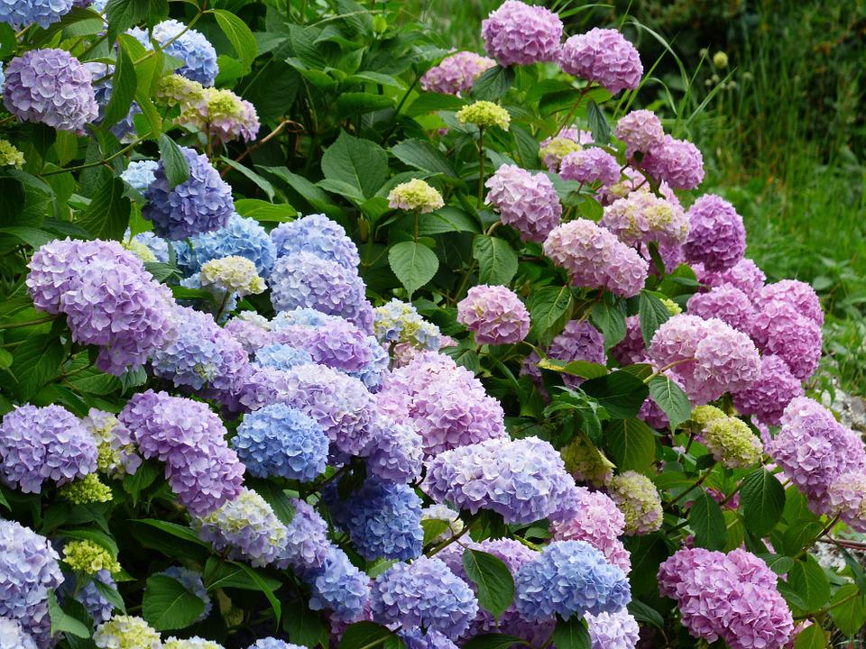 Best Practices For Pruning Hydrangeas In Spring