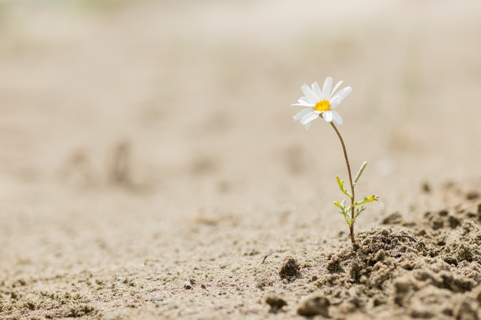 lone sunflower growing from ground