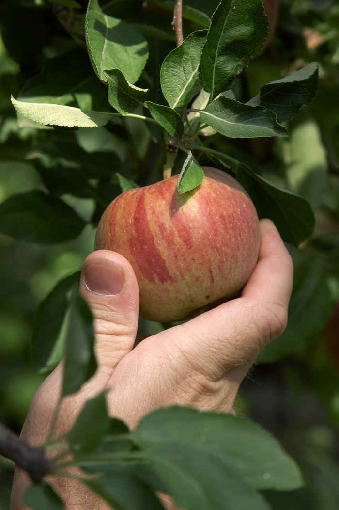 hand picking an apple off of tree