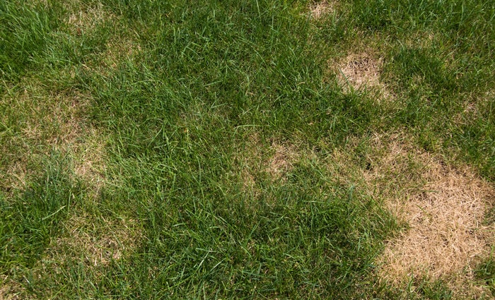 brown patches in green grass