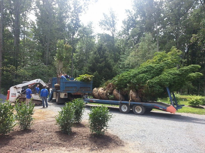 Landscapers installing mature trees in yard